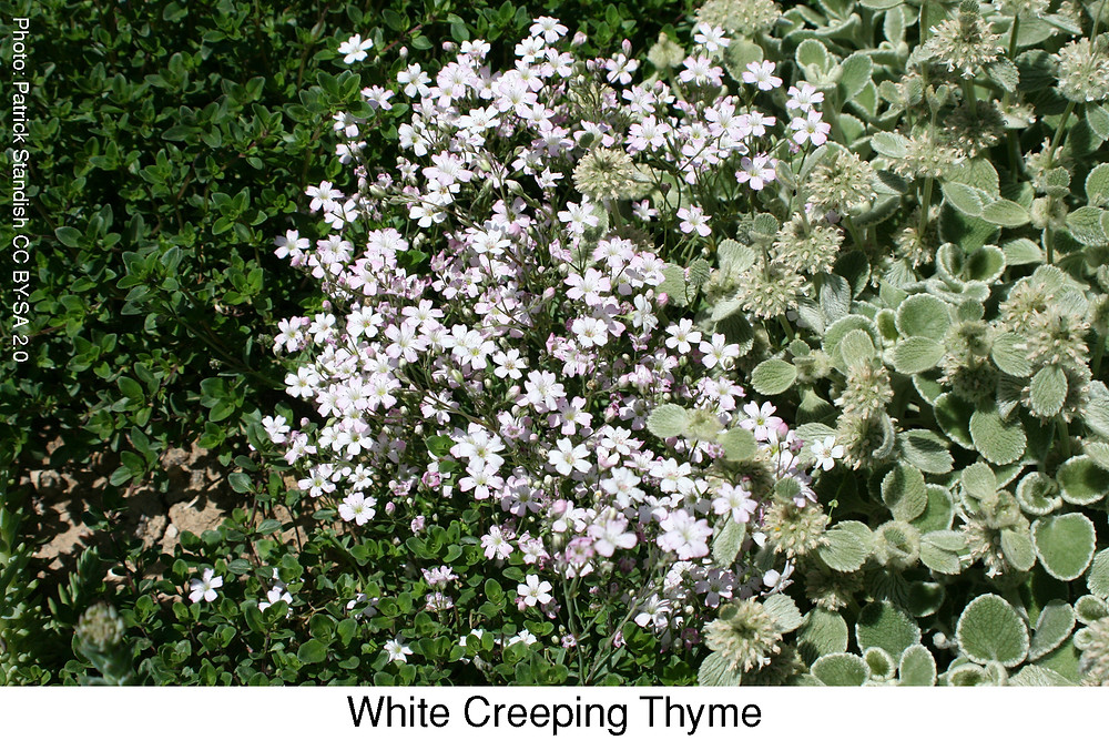 White Creeping Thyme.  Attribution: Patrick Standish CC BY-SA 2.0