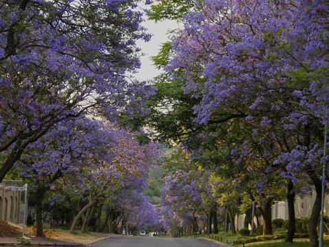 TREES, PLEASE: Jacarandas: Lovely Lavender or Purple Panic?