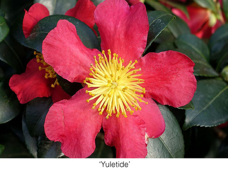 GUEST COLUMNIST: Ten Must-Have Camellias for San Diego County