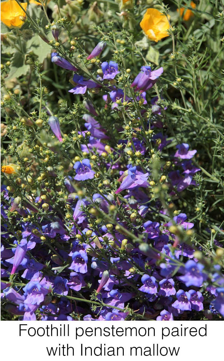 Foothill penstemon paired with Indian mallow.
