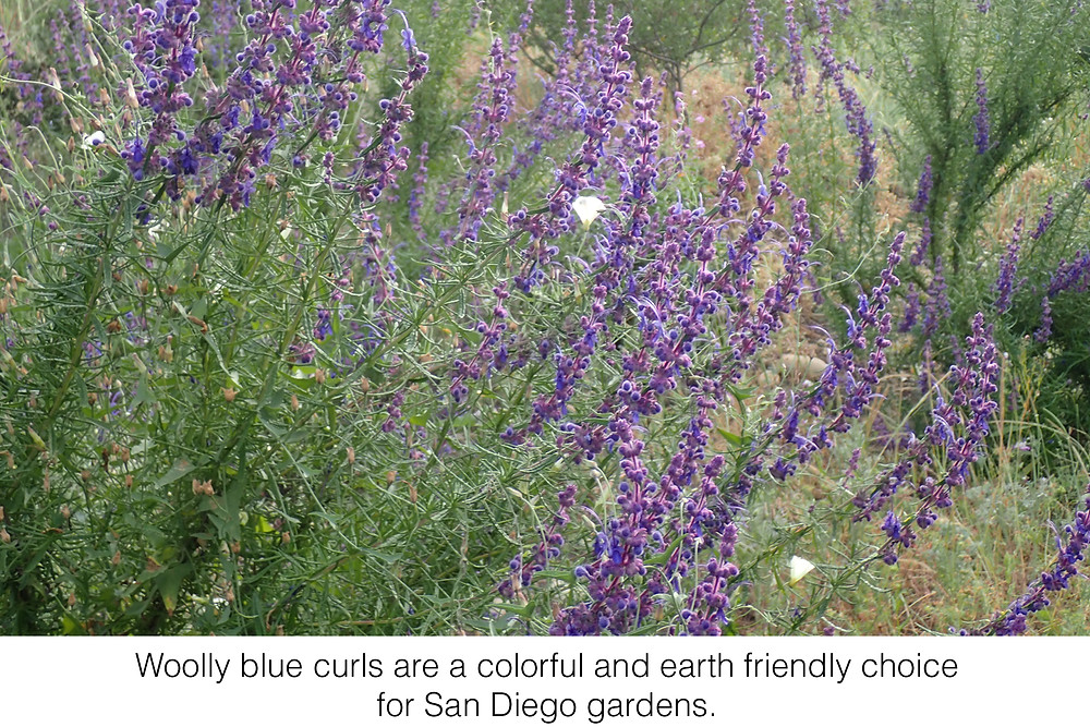 Woolly blue curls are a colorful and earth friendly choice for San Diego gardens.