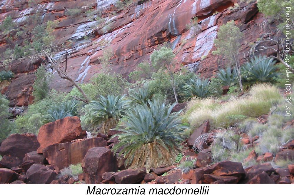 Macrozamia.  Photo attribution: Cgoodwin [CC BY 3.0]