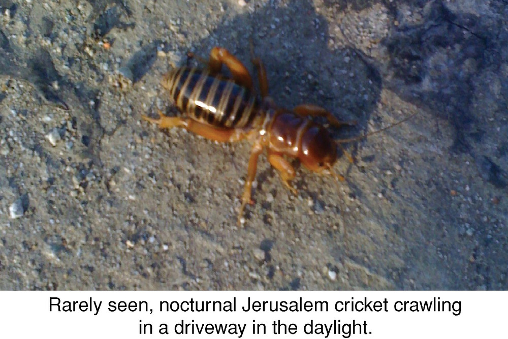Rarely seen, nocturnal, Jerusalem cricket crawling in a driveway in the daylight.