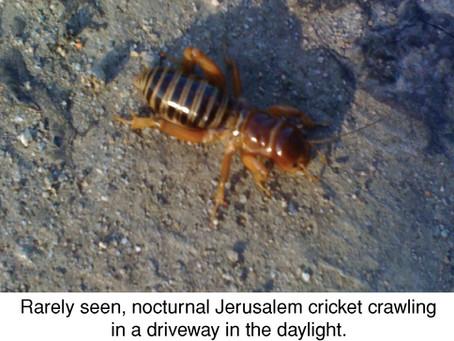 The Formidable, and Misnamed, Potato Bug