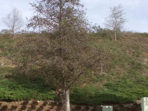 TREES, PLEASE: Wilt, Anyone?