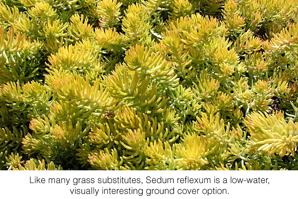 Like many grass substitutes, Sedum reflexum is a low-water, visually interesting ground cover option.