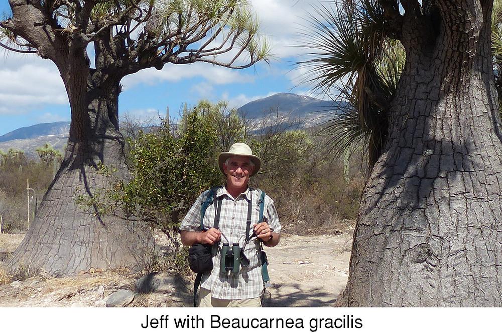 Jeff with Beaucarnea gracilis
