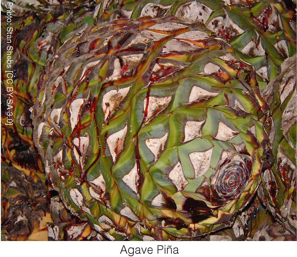 Agave Piña. Photo credit: Stan Shebs [CC BY-SA 3.0]