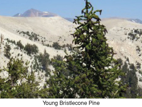 TREES, PLEASE: Bristlecones Older Than Methuselah (So How Old Are Your Trees?)