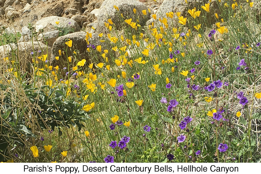 Parish's Poppy, Desert Canterbury Bells, Hellhole Canyon