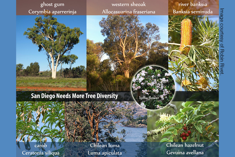 A greater and more diverse tree canopy is necessary for disease resistance in San Diego's vegetation. Image courtesy of Robin Rivet.