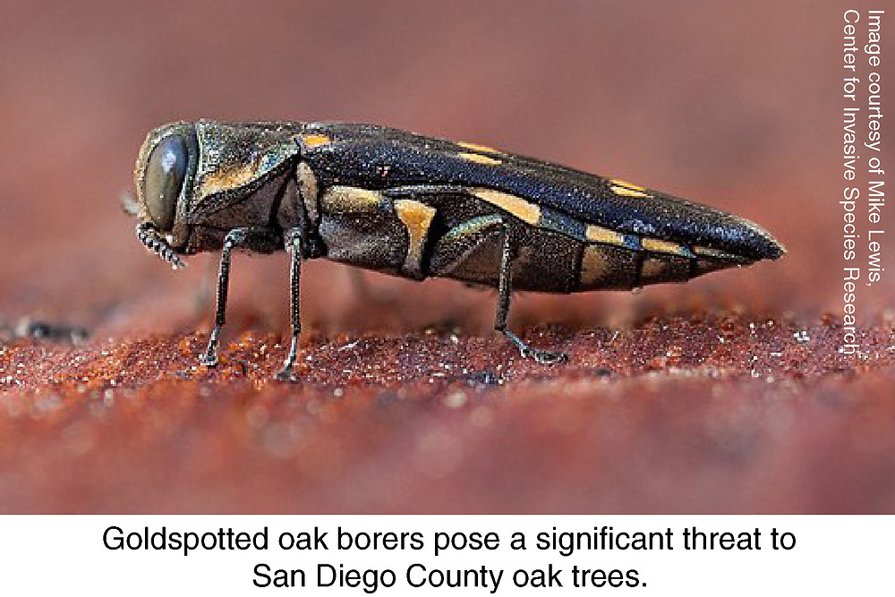 Goldspotted oak borers pose a significant threat to San Diego County oak trees. Image courtesy of Mike Lewis, Center for Invasive Species Research.