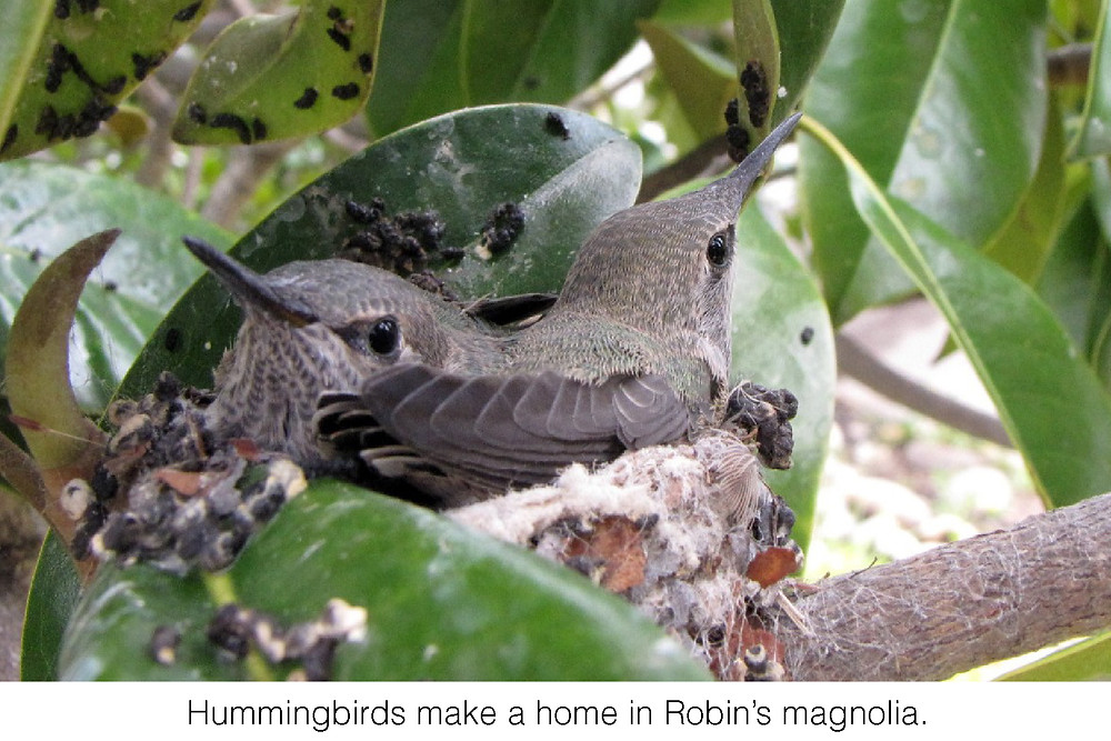 Hummingbirds make a home in Robin's magnolia.