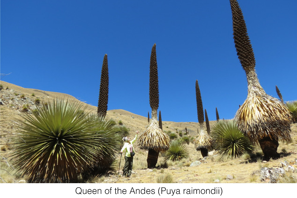 Queen of the Andes (Puya raimondii)