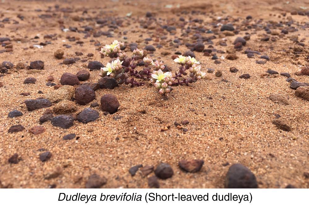 Dudleya brevifolia (Short-leaved dudleya)