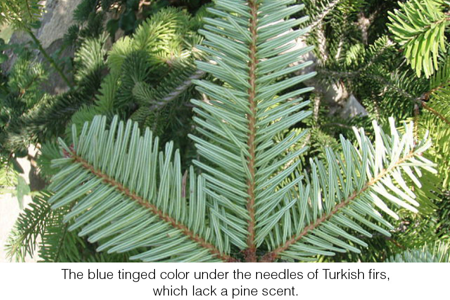 The blue tinged color under the needles of Turkish firs, which lack a pine scent.