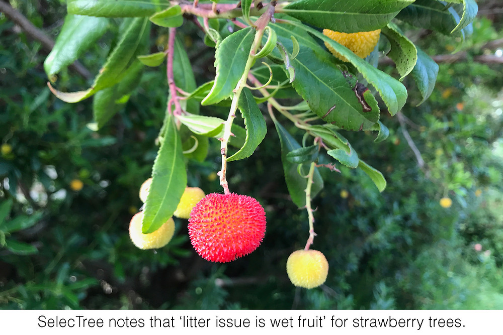 SelecTree notes that 'litter issue is wet fruit' for strawberry trees.