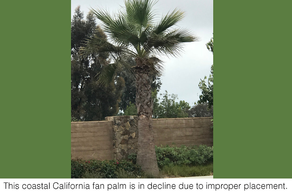 This coastal California fan palm is in decline due to improper placement.