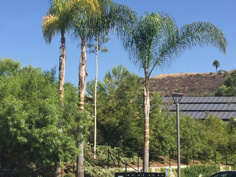 TREES, PLEASE: Queen Palms, Part1: Growth Habit, Fertilizer, and Pruning