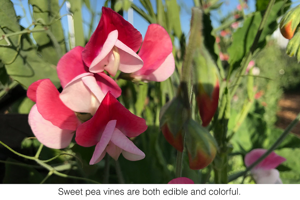 Sweet pea vines are both edible and colorful.