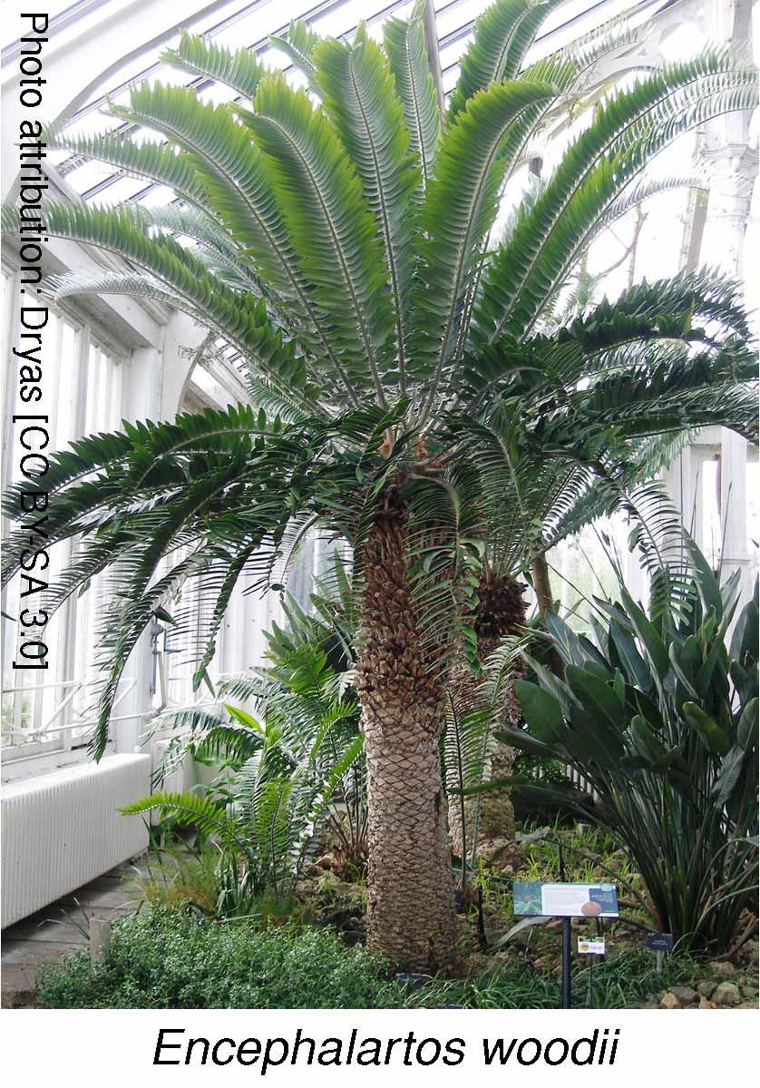(Rachel: plant name in italics)Encephalartos woodii. Attribution: Dryas [CC BY-SA 3.0]