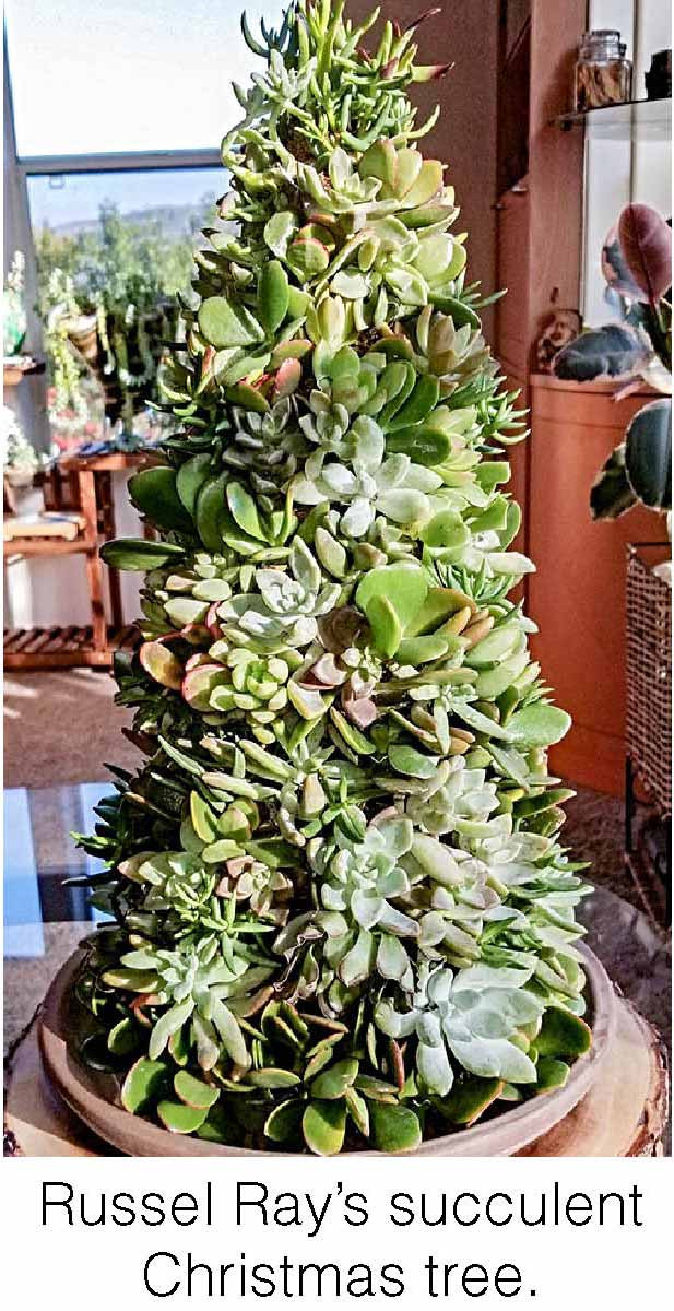 Russel Ray's succulent Christmas tree.