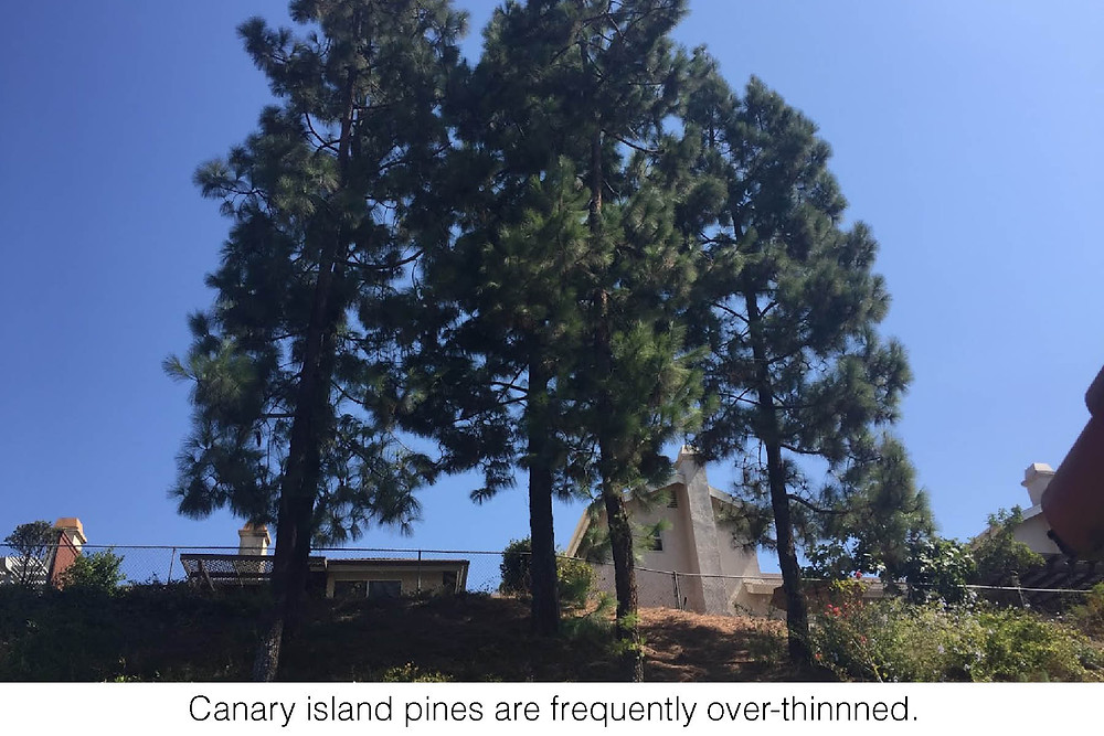 Canary island pines are frequently over-thinnned.