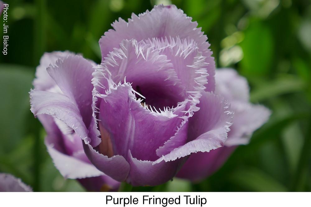 Purple Fringed Tulip.  Attribution: Jim Bishop.