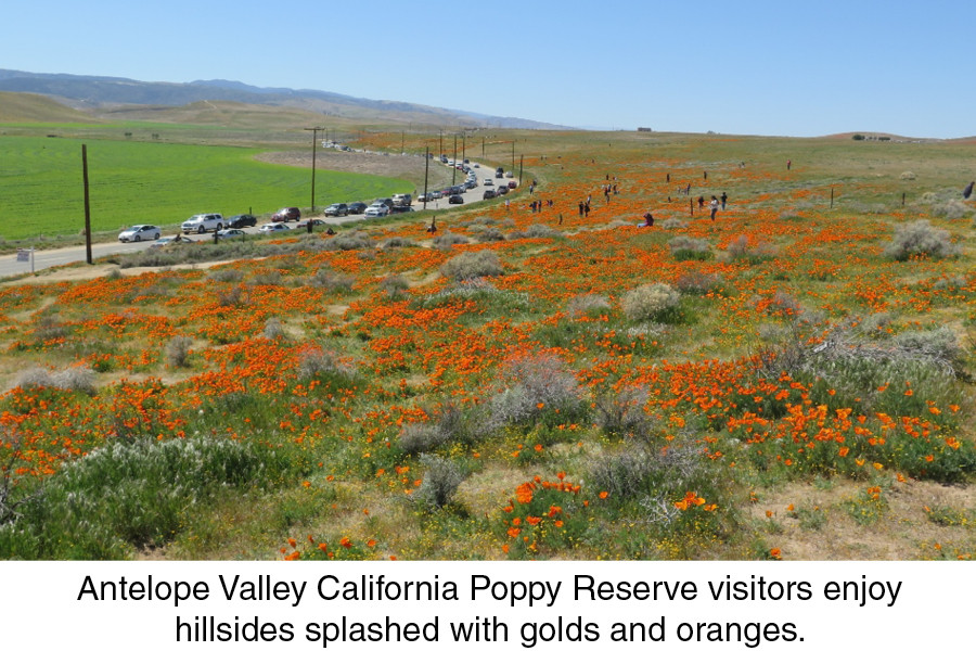 Antelope Valley California Poppy Reserve visitors enjoy hillsides splashed with golds and oranges.