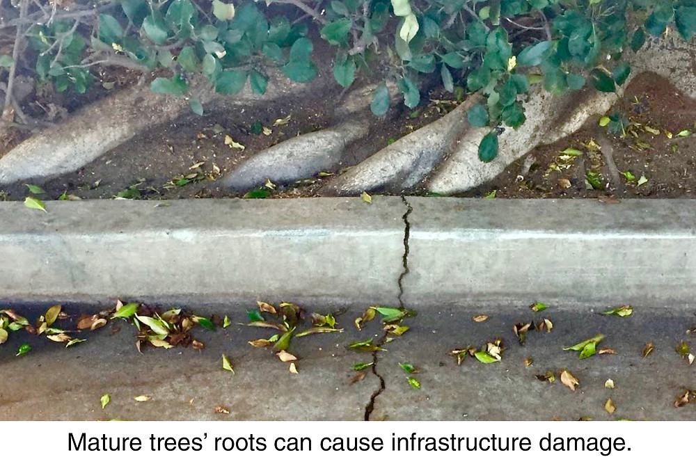 Mature trees' roots can cause infrastructure damage.
