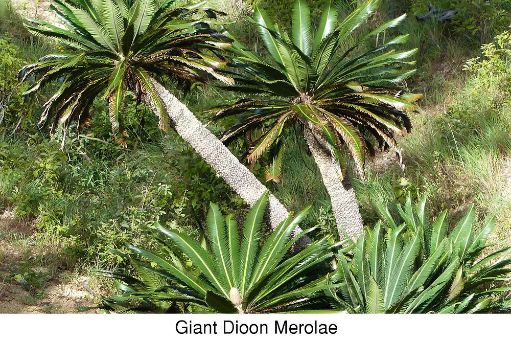 Giant Dioon Merolae