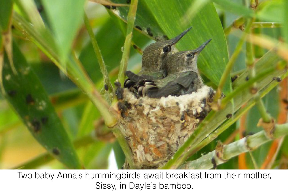 Two baby Anna's hummingbirds await breakfast from their mother, Sissy, in Dayle's bamboo.