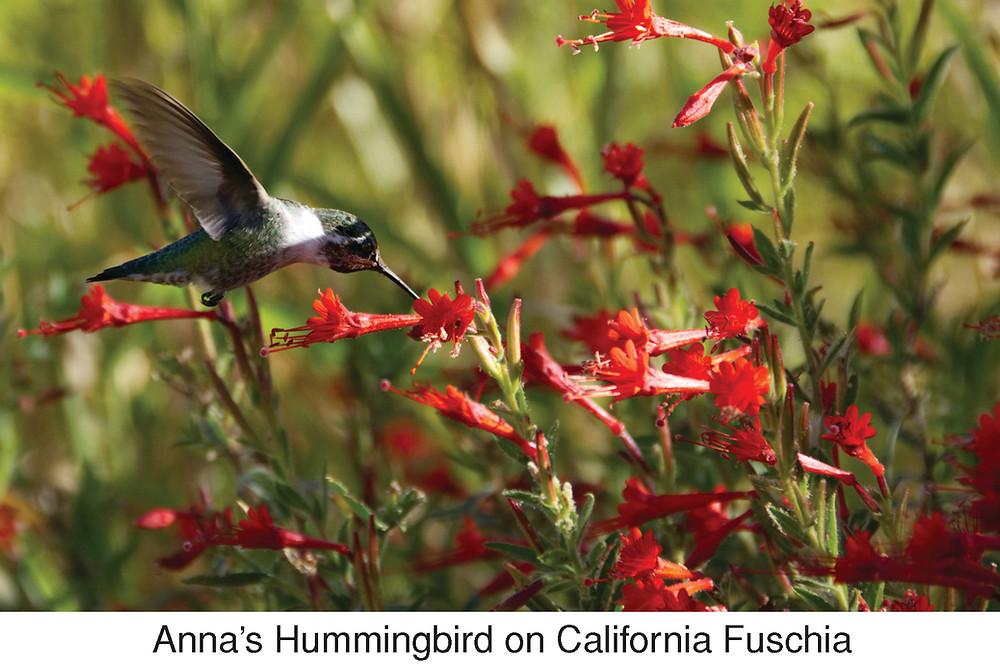 Anna's Hummingbird on California Fuschia