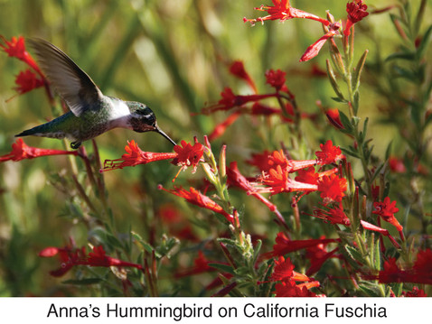 GOING WILD WITH NATIVES: Red-blooming Natives for San Diego
