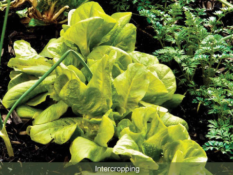 GROW IN ABUNDANCE: Intercropping.
