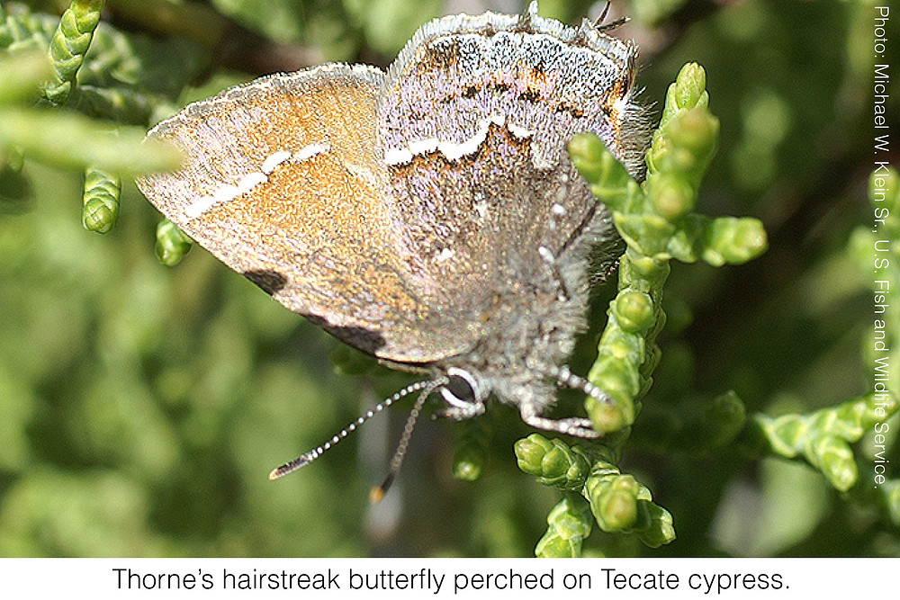 Thorne's hairstreak butterfly perched on Tecate cypress. Photo credit: Michael W. Klein Sr., U.S. Fish and Wildlife Service.