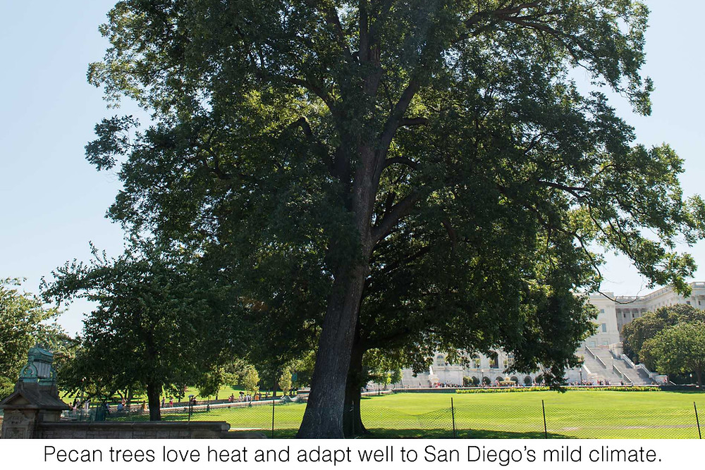 Pecan trees love heat and adapt well to San Diego's mild climate.