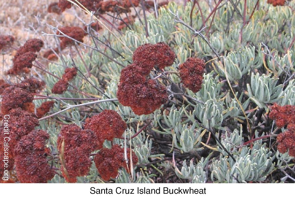 Santa Cruz Island Buckwheat.  Credit Calscape.org