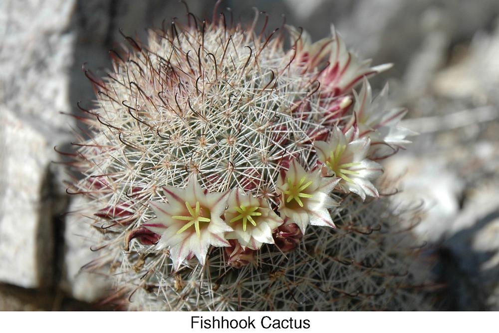 Fishhook cactus.
