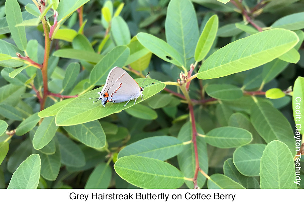 Grey Hairstreak Butterfly on Coffee Berry.  Credit: Clayton Tschudy.