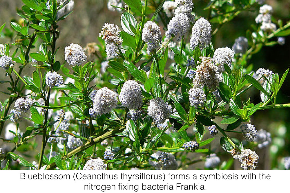 Blueblossom (Ceanothus thyrsiflorus) forms a symbiosis with the nitrogen fixing bacteria Frankia.