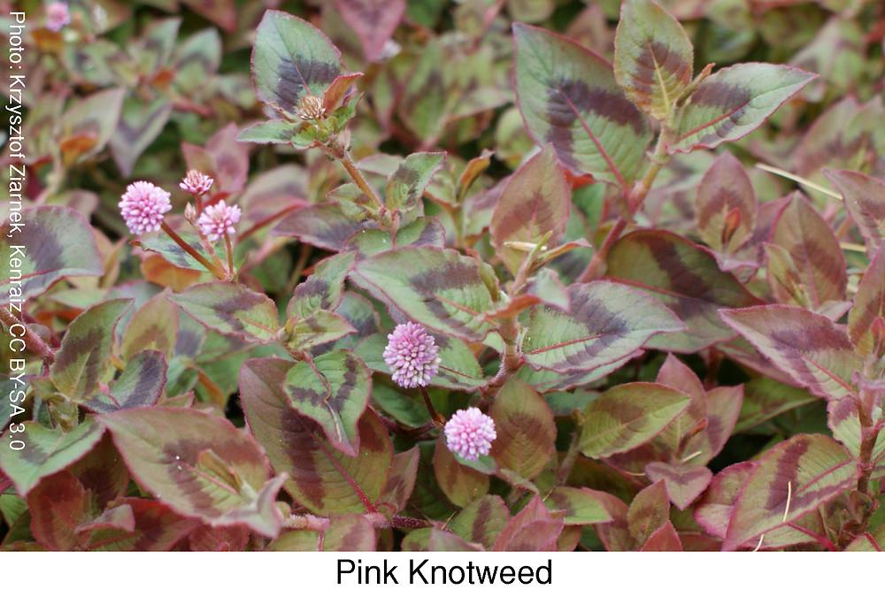 Pink Knotweed.  Attribution: Krzysztof Ziarnek, Kenraiz. CC BY-SA 3.0