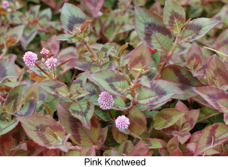 FRANK'S FAVORITES: Ground Covers for San Diego Gardens