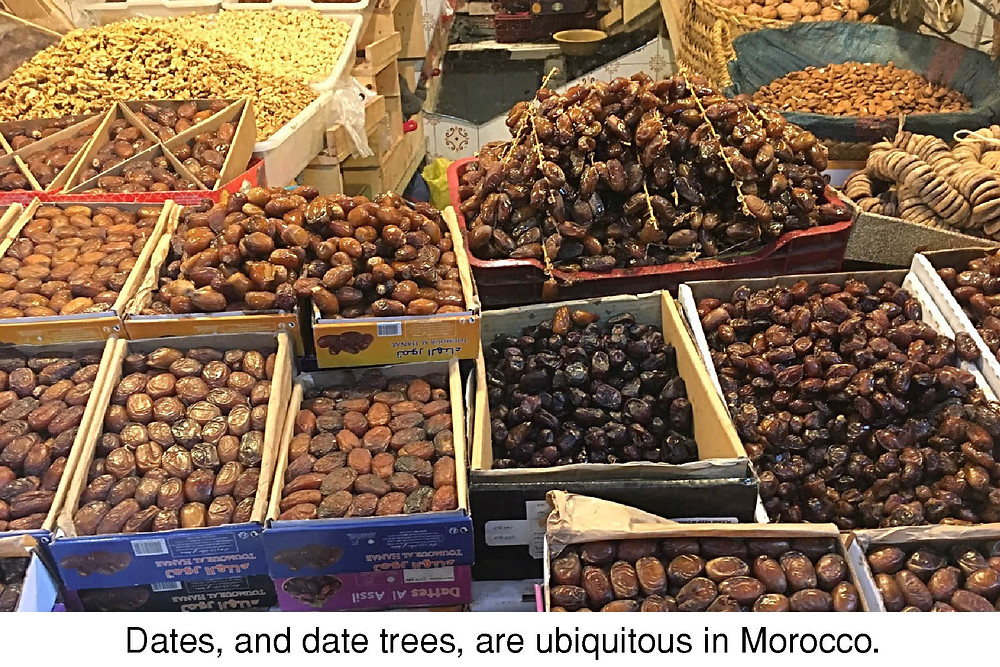 Dates, and date trees, are ubiquitous in Morocco.