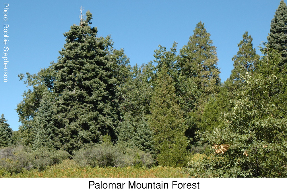 Palomar Mountain Forest.  Photo Credit: Bobbie Stephenson