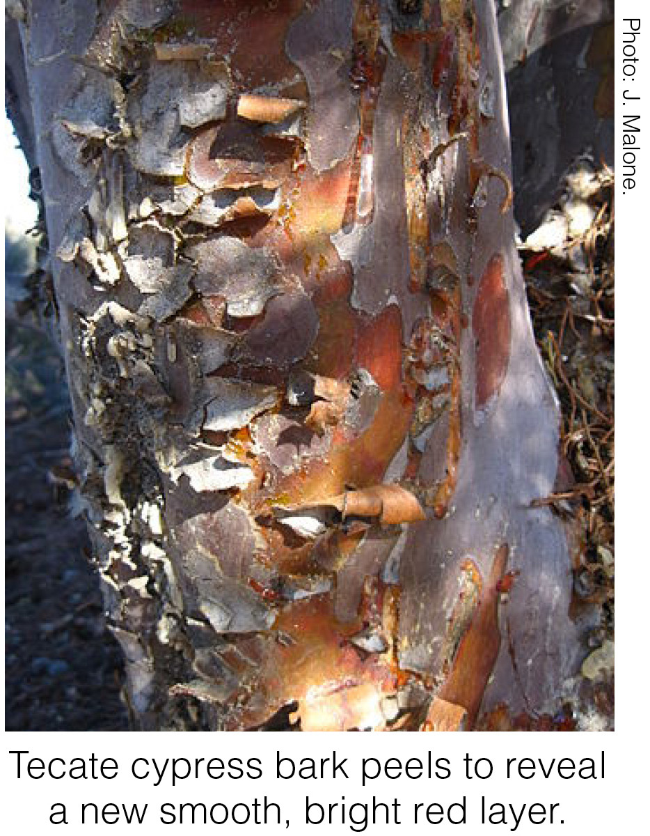 Tecate cypress bark peels to reveal a new smooth, bright red layer. Photo credit: J. Malone.