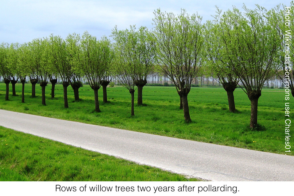 Rows of willow trees two years after pollarding. Photo credit: Wikimedia Commons user Charles01.
