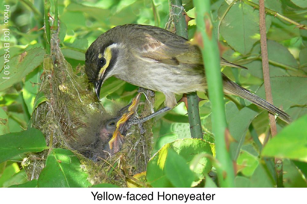 Yellow-faced Honeyeater.  Photo credit: [CC BY-SA 3.0 ]