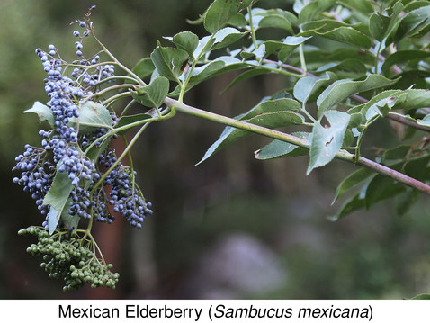 GOING WILD WITH NATIVES: Mexican Elderberry: A Berry Good Plant