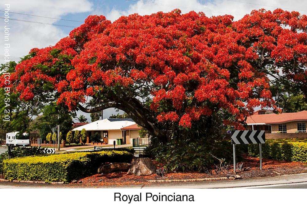 Royal Poinciana. Attribution: John Redcliffe SA BY-CC 2.0 CC